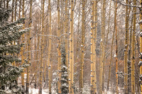 Warm Aspens in Cold