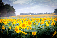 Grinter Farms - Sunflowers
