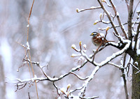 Spring Snow and a cold Sparrow