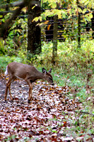 whitetail in october 8