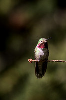 2014 june hummingbirds-2
