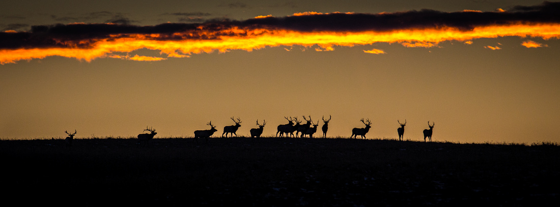 Elk on the rise