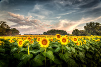 Sunflowers - Grinter Farms 2015
