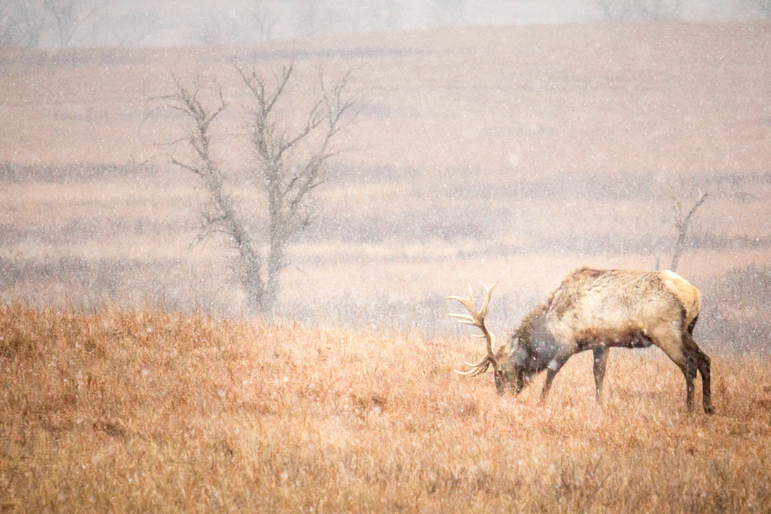 Bull Elk 3 - Snow - Feb 2015