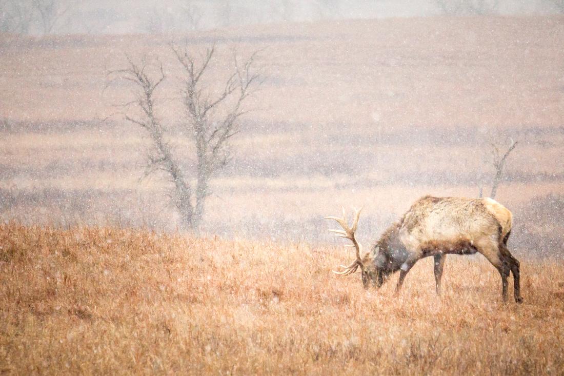 Bull Elk 3 - Snow - Feb 2015